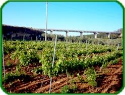 Azienda agricola tenore otranto produzione di barbatelle for Barbatelle di vite